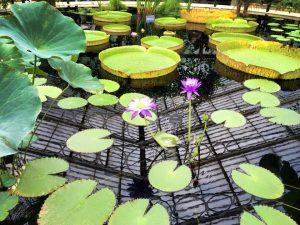 Lilies at Kew