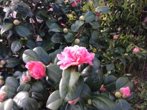 The Birchen Grove Camellia
