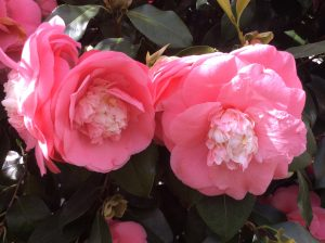 Double flowering Camellia in Chiswick House Conservatory
