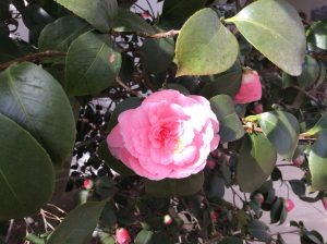 Middlemist's Red - one of the world's rarest camellias