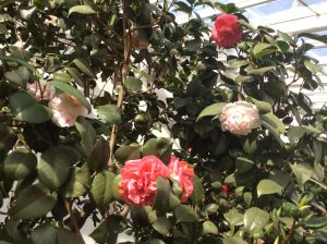 Pompone - multi-coloured camellia