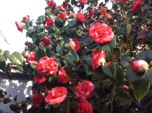 Camellias in the grounds of Chiswick House