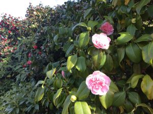 Double flowering Camellia in Chiswick House gardens