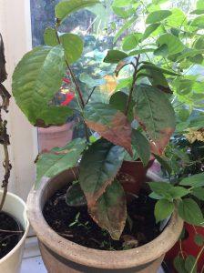 My tea plant