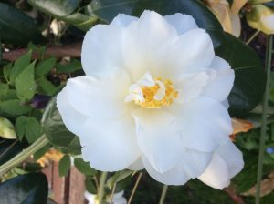 Single flowered camellia