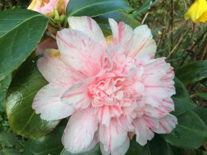 Double flowering variegated Camellia in my garden