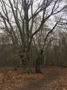 Pollard Trees Epping Forest